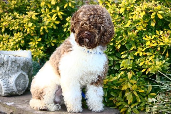 Australian Labradoodle adulte