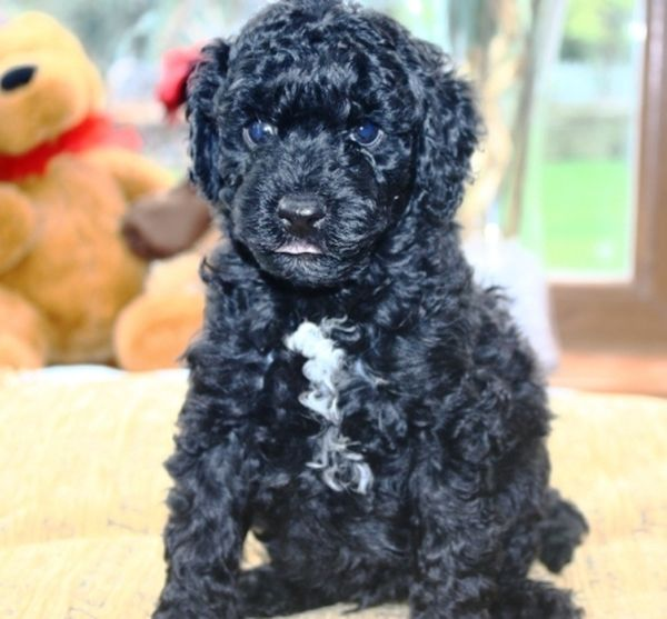 chiot noir Australian Labradoodle